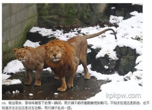 杭州动物园丑陋一幕:游客用雪球砸狮子!